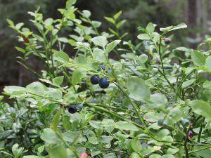 blåbær i Sverige